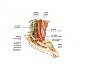 頚部 側面