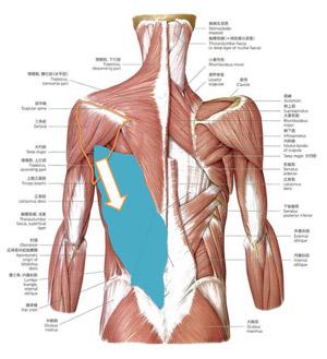 筋肉の流れ